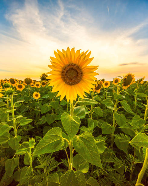 vibrant sunflower field close up in summer in sunset - sunflower стоковые фото и изображения