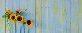 Vibrant sunflowers in front of an old blue and green grungy wood panel background, lots of contrast color and texture.