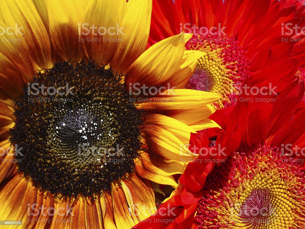 Vibrant Sunflowers royalty-free stock photo