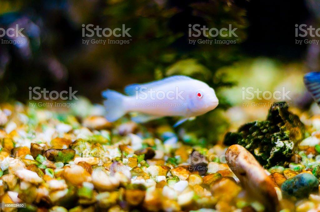 Vibrant swimming Cichlid fish in aquarium stock photo