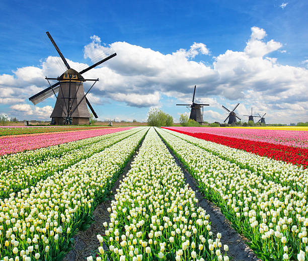 Vibrant tulips field with Dutch windmills stock photo
