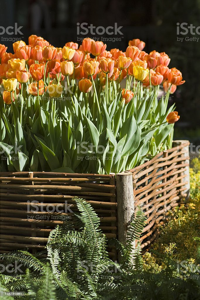 Vibrant tulips in raised bed royalty-free stock photo