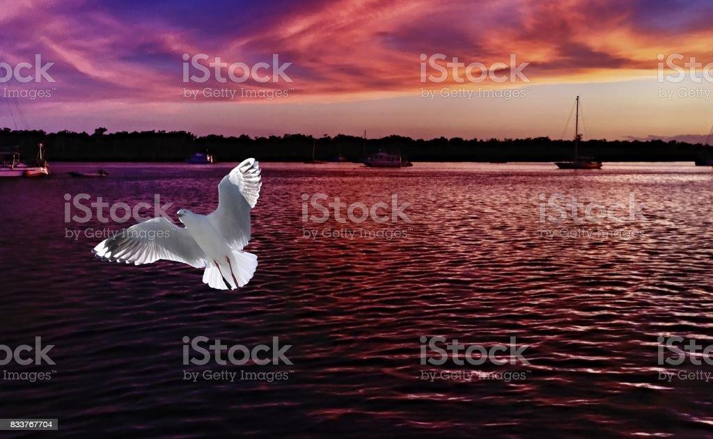 A Vibrant white seagull in full flight with a dark mauve sunrise seascape backdrop. stock photo