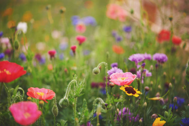 vibrant wildflowers background - angiospermas imagens e fotografias de stock