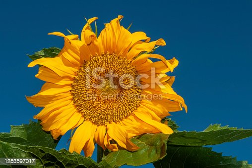 Golden common sunflower (helianthus annuus) blooming in Northern California, where one-quarter of the world's supply of sunflower seeds are grown each summer.