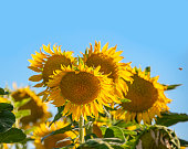 Huge, vibrant gold Common Sunflowers (helianthus annuus) blooming in summer. One-quarter of the world's supply of sunflower seeds are grown in California.