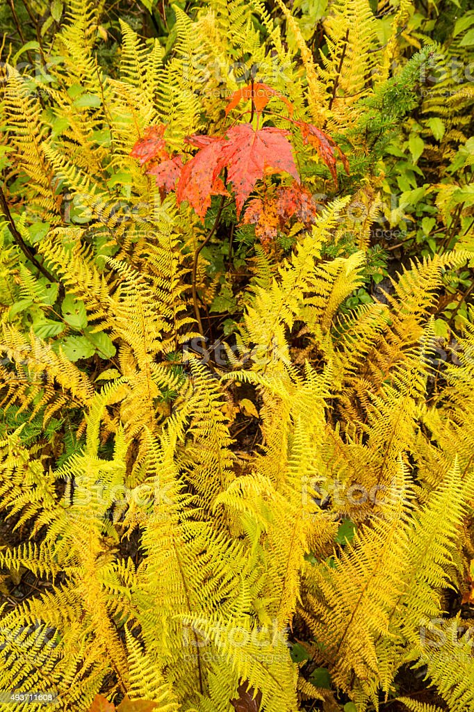 Vibrant yellow hayscented ferns with red maple leaves, northern stock photo