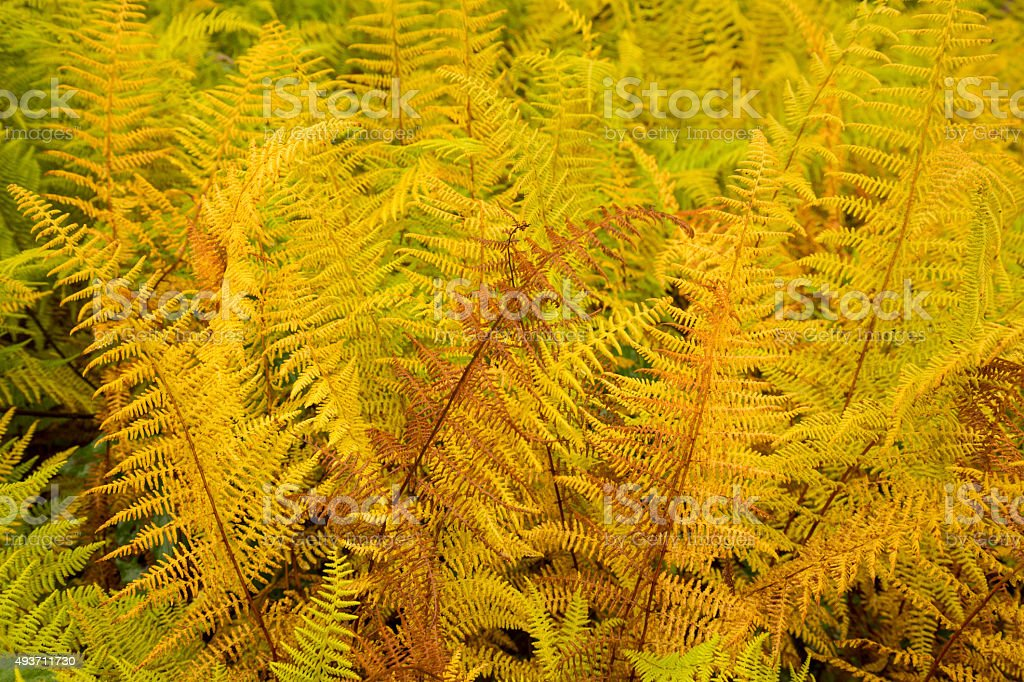 Vibrant yellow leaves of hayscented ferns, fall in northern Main stock photo