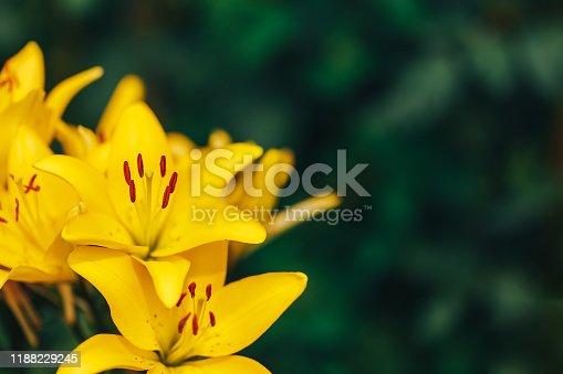 Vibrant yellow lilies in a summer garden.
