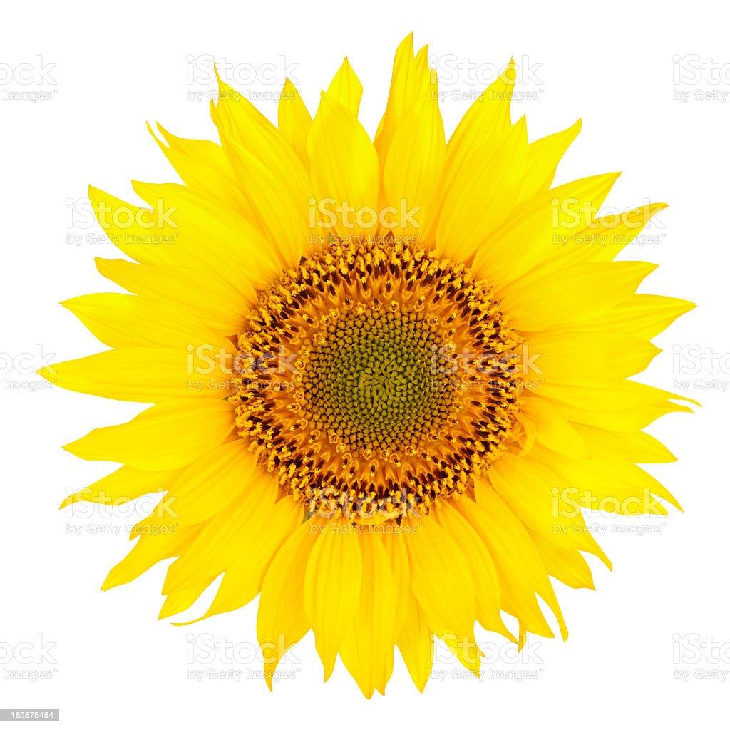 Vibrant yellow sunflower on white background royalty-free stock photo