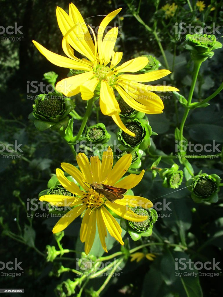 Vibrant Yellow Wildflowers with Brown Butterfly stock photo