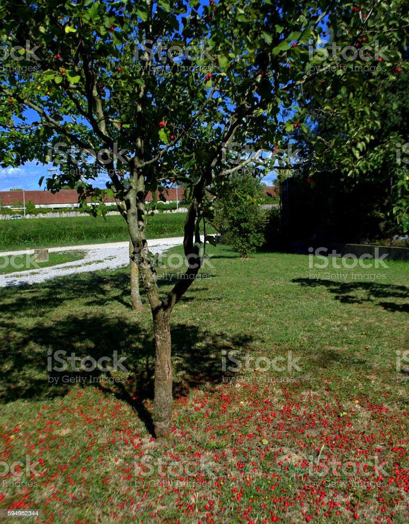 Albero Con Bacche Rosse viburno opulus albero con bacche rosse stock photo - download image now
