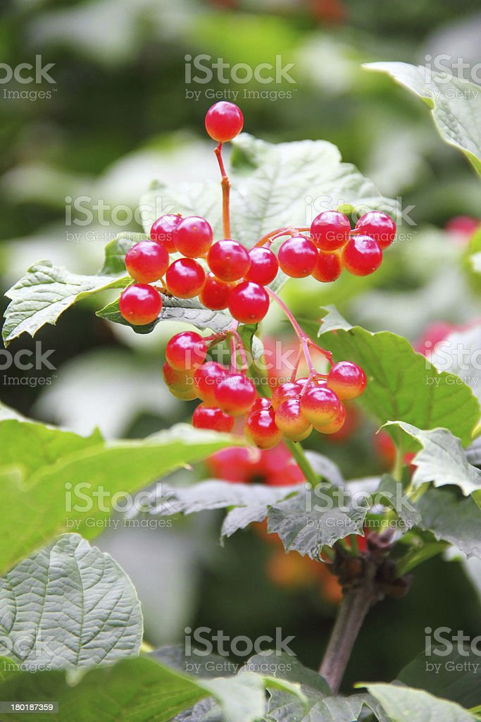Viburnum berries royalty-free stock photo