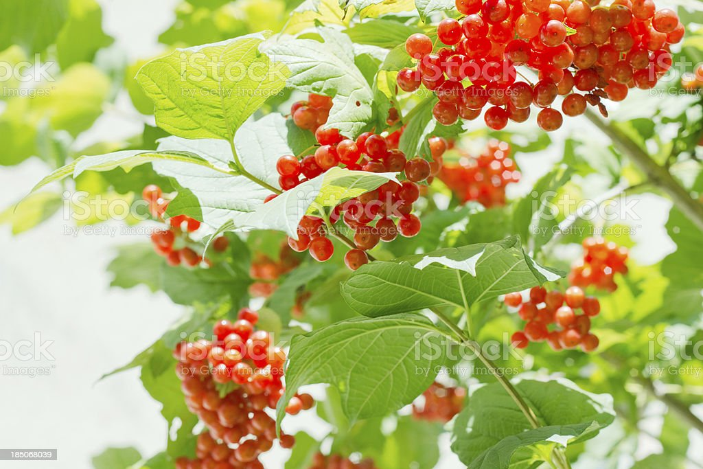 Viburnum berry, guelder-rose royalty-free stock photo
