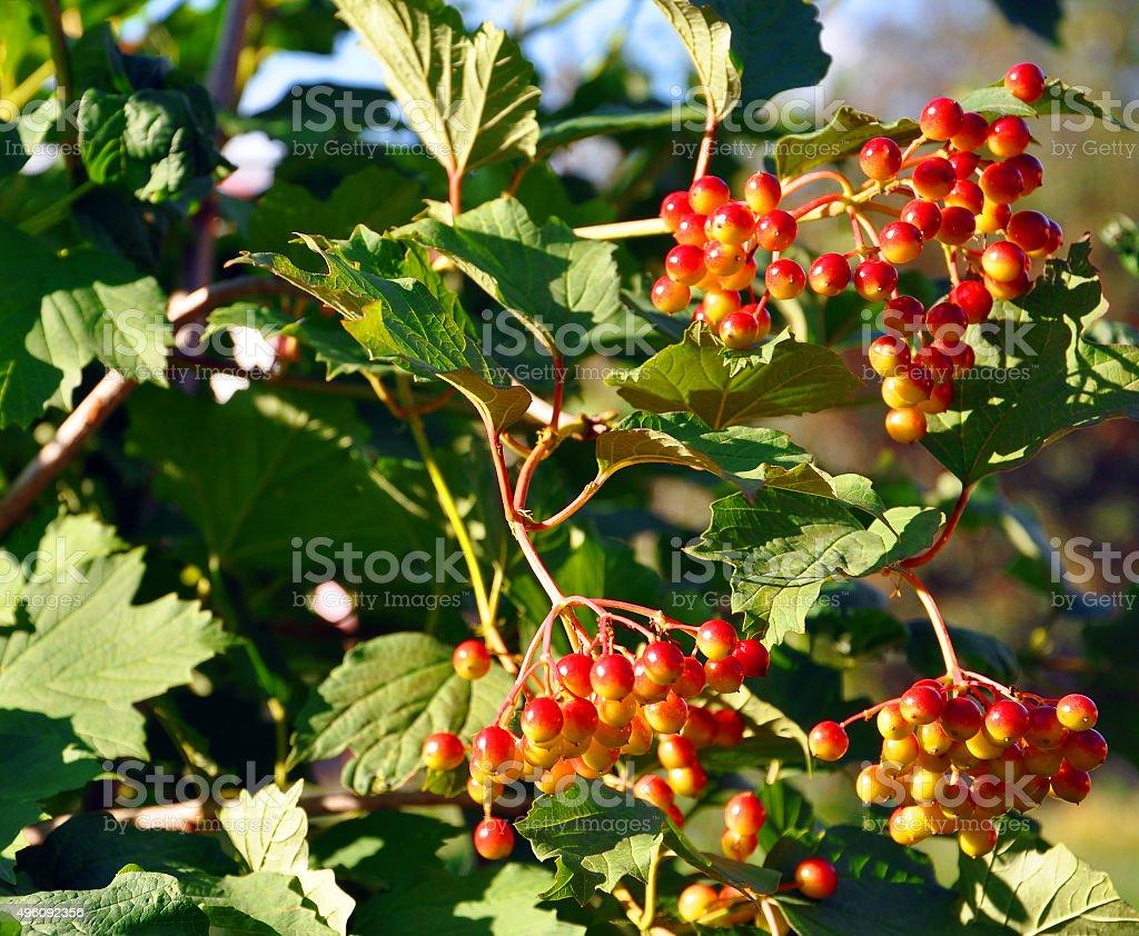 Pianta Ornamentale Con Bacche Rosse viburnum bush con bacche rosse e verde fogliame - fotografie