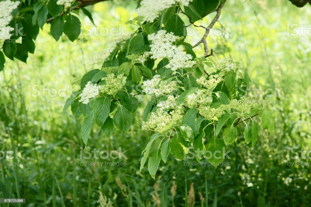 Viburnum dilatatum photo libre de droits