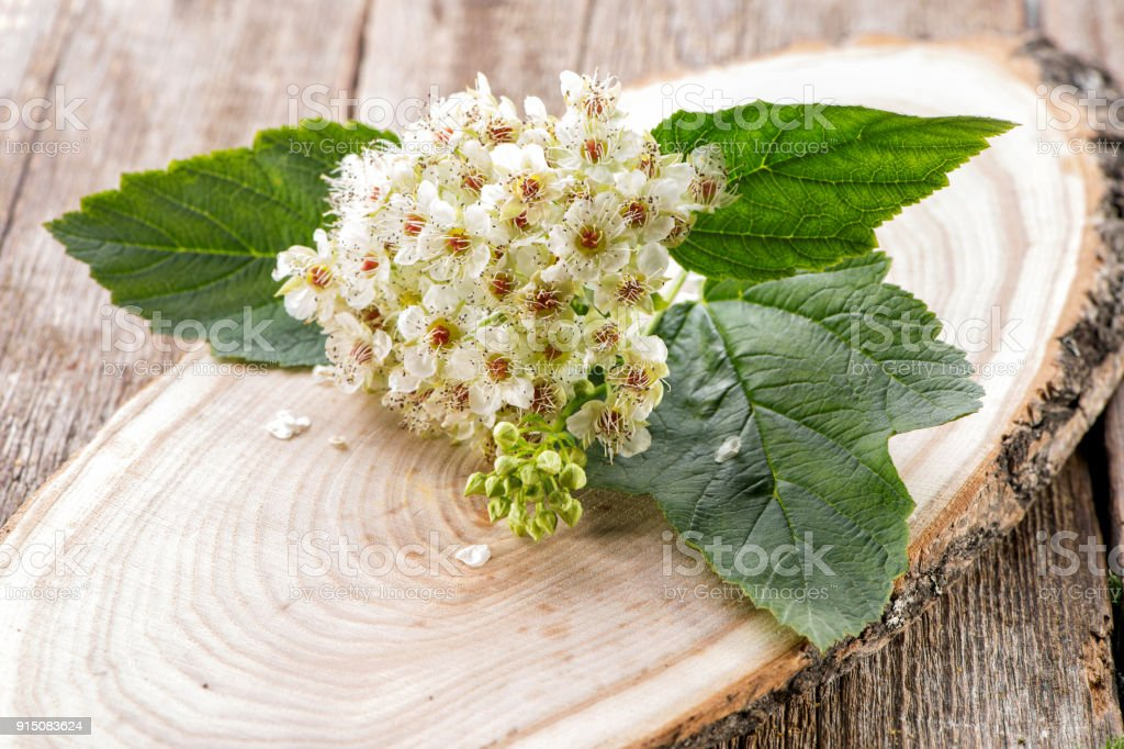 viburnum inflorescence on  natural wooden background stock photo