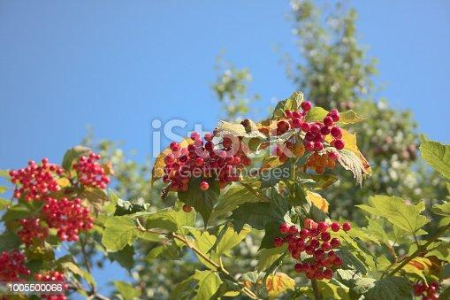 948743278 istock photo Viburnum opulus berries on shrub branches 1005500066