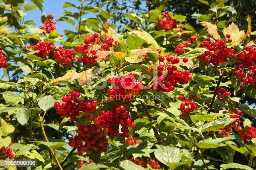 948743278 istock photo Viburnum opulus berries on shrub branches 1005500096