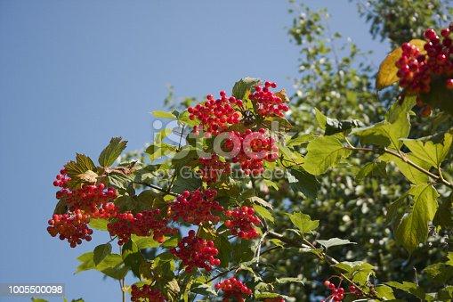 948743278 istock photo Viburnum opulus berries on shrub branches 1005500098