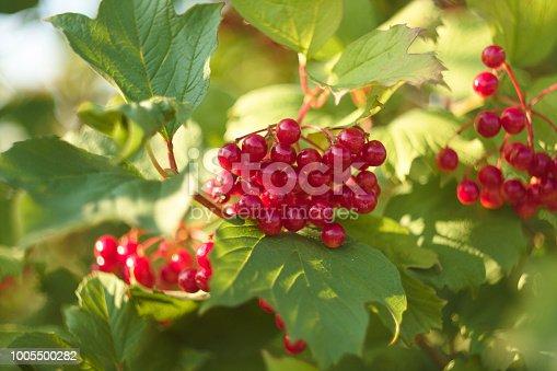 948743278 istock photo Viburnum opulus berries on shrub branches 1005500282