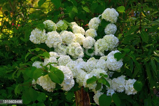 Viburnum plicatum, or Japanese snowball, produces 2 to 3 inch wide showy, snowball-type clusters of white flowers in spring.  It is a dense, upright, multi-stemmed, deciduous shrub with somewhat horizontal branching that grows 3 to 4 meters high.