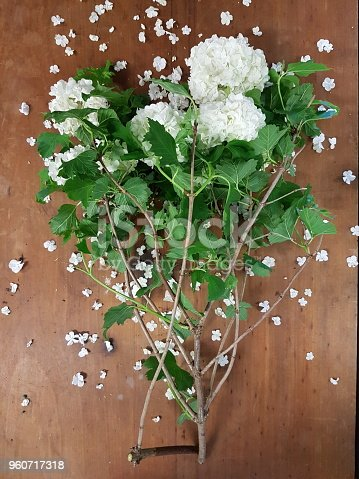 Delicate white puff-ball flower-heads on leafy stems. Viburnum opulus, 'guelder rose' or 'snowball' plant. Scattered dropped-petals, on timber background.