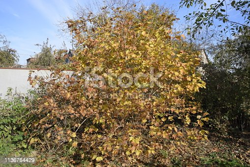 948743278istockphoto Viburnum tree in the fall, yellow leaves on the tree. 1136764429