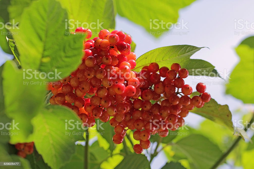 Viburnum With Red Stone Fruits In Autumn Stock Photo