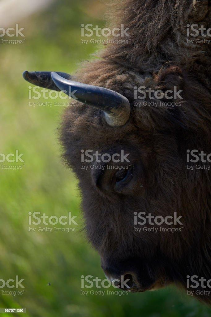 Vicent (European Bison) stock photo