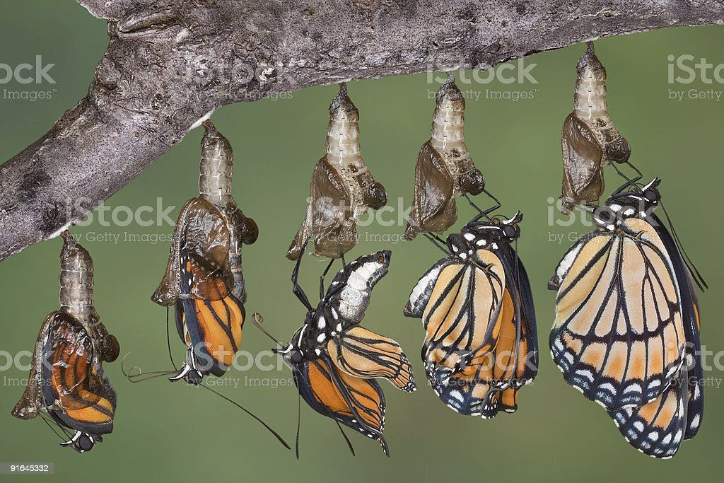 Viceroy butterfly emerging from chrysalis stock photo