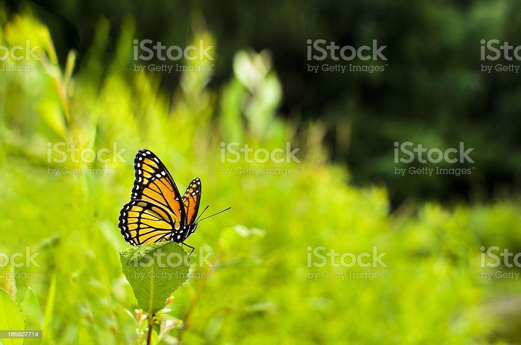 Viceroy Butterfly Limenitis archippus royalty-free stock photo