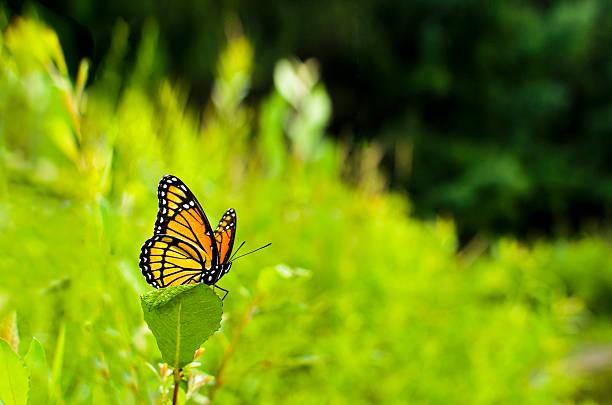 Viceroy Butterfly Limenitis archippus stock photo