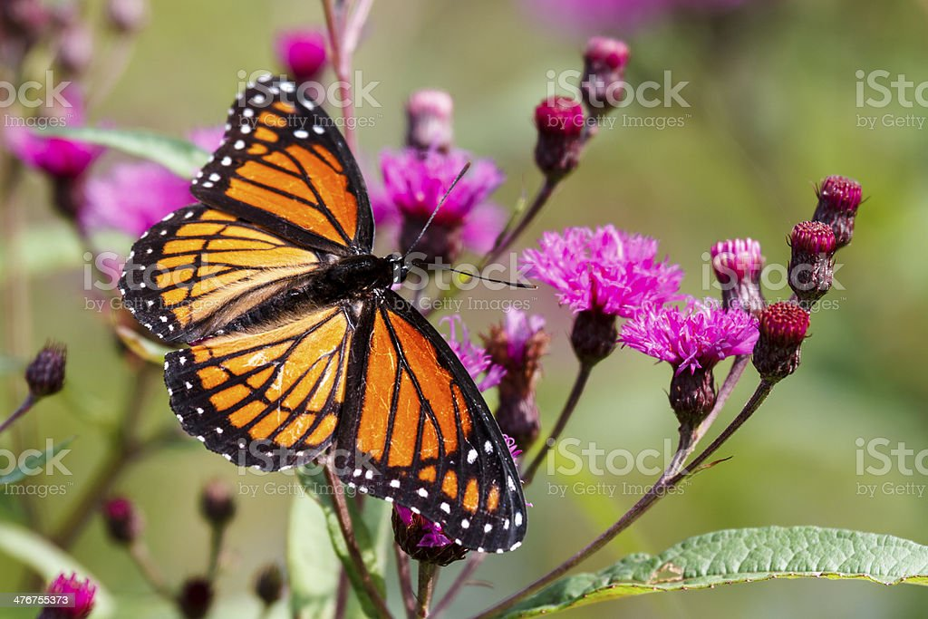 Viceroy Butterfly Nectaring on Ironweed stock photo