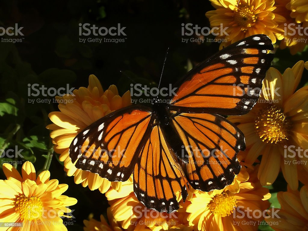 viceroy butterfly on mum royalty-free stock photo