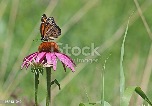 Close-up photo of a viceroy butterfly on a purple cone flower with blurred green background