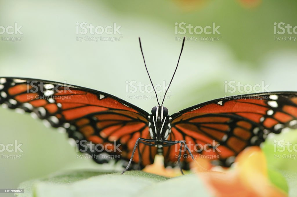 Viceroy Butterfly (Limenitis archippus) stock photo