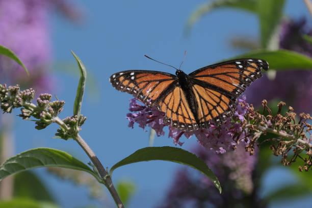 Viceroy Butterfly stock photo