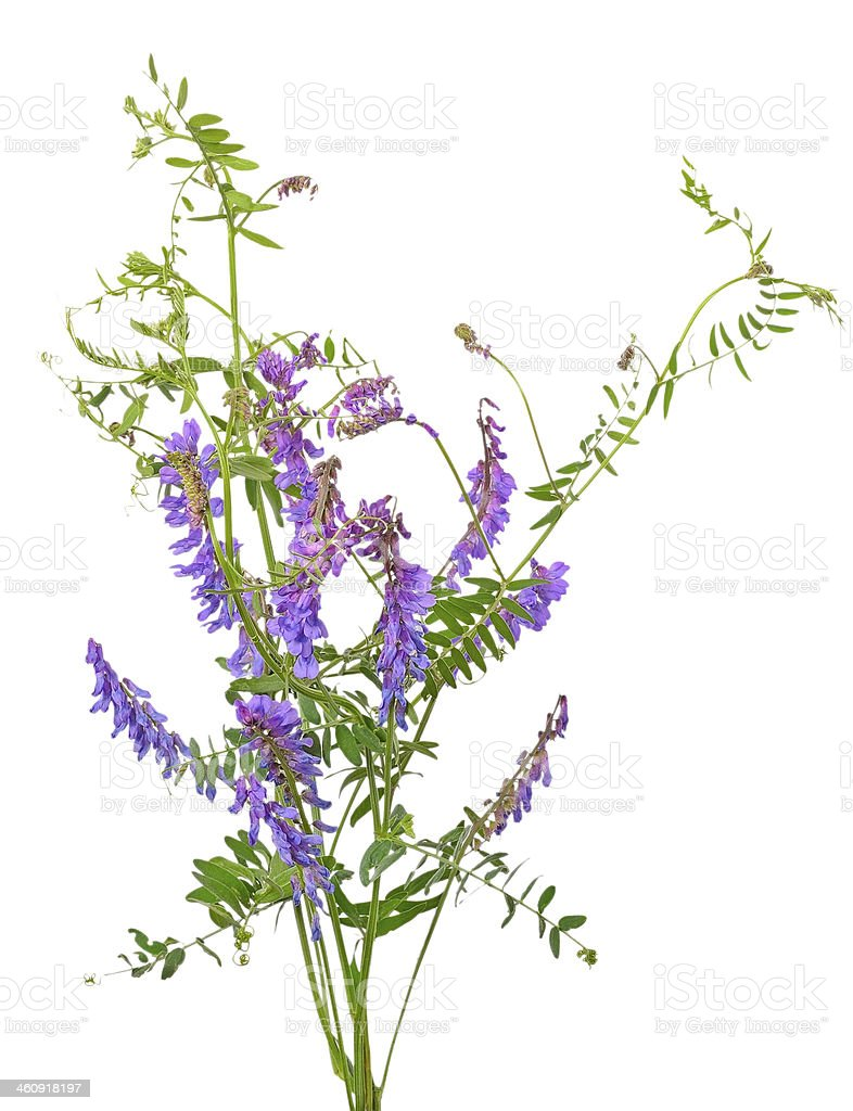 Vicia cracca flowers stock photo