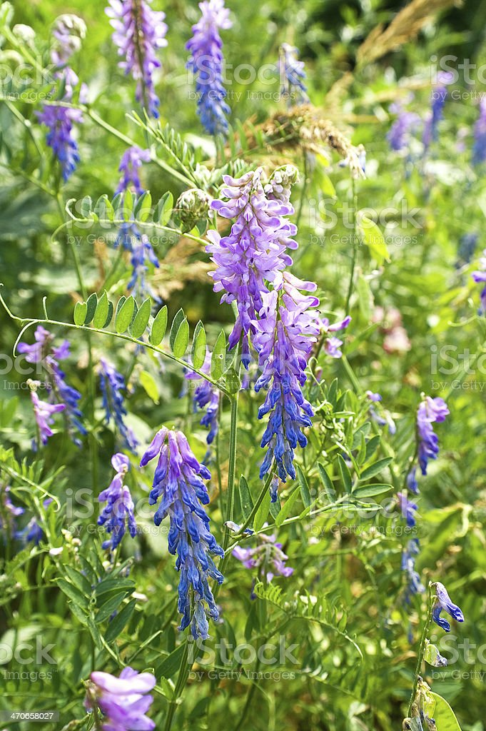 Vicia cracca royalty-free stock photo
