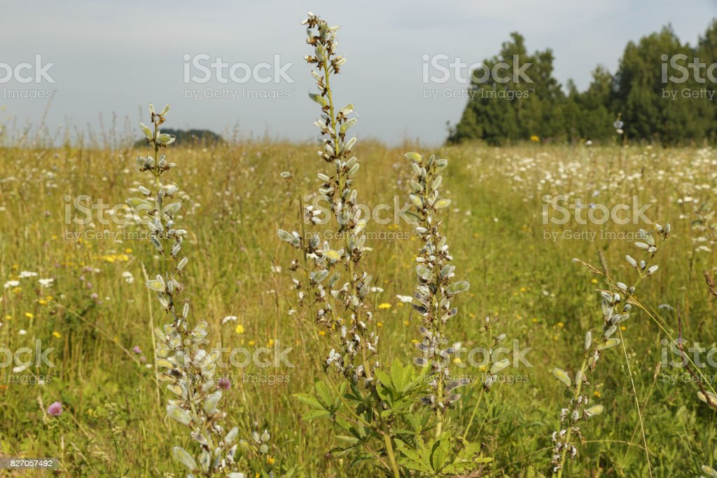 Vicia cracca stock photo