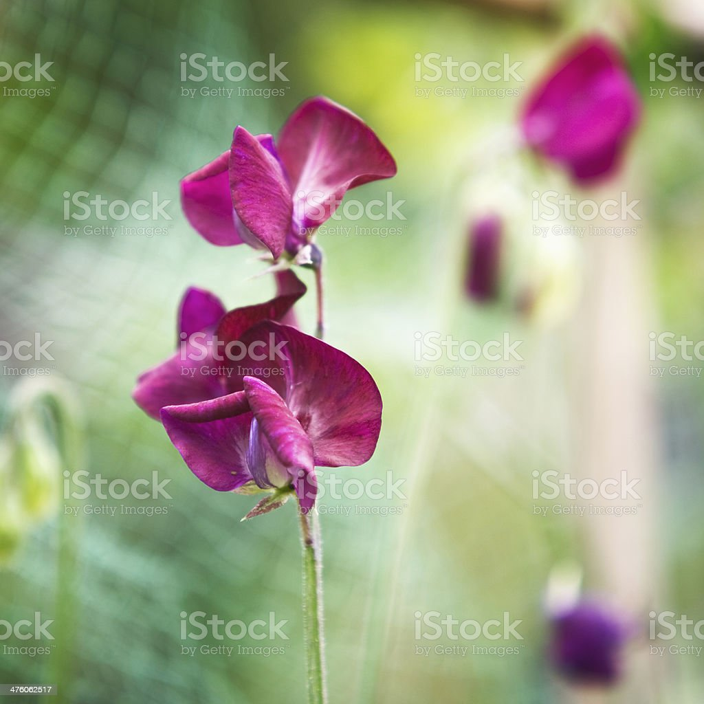 Vicia Flowers stock photo