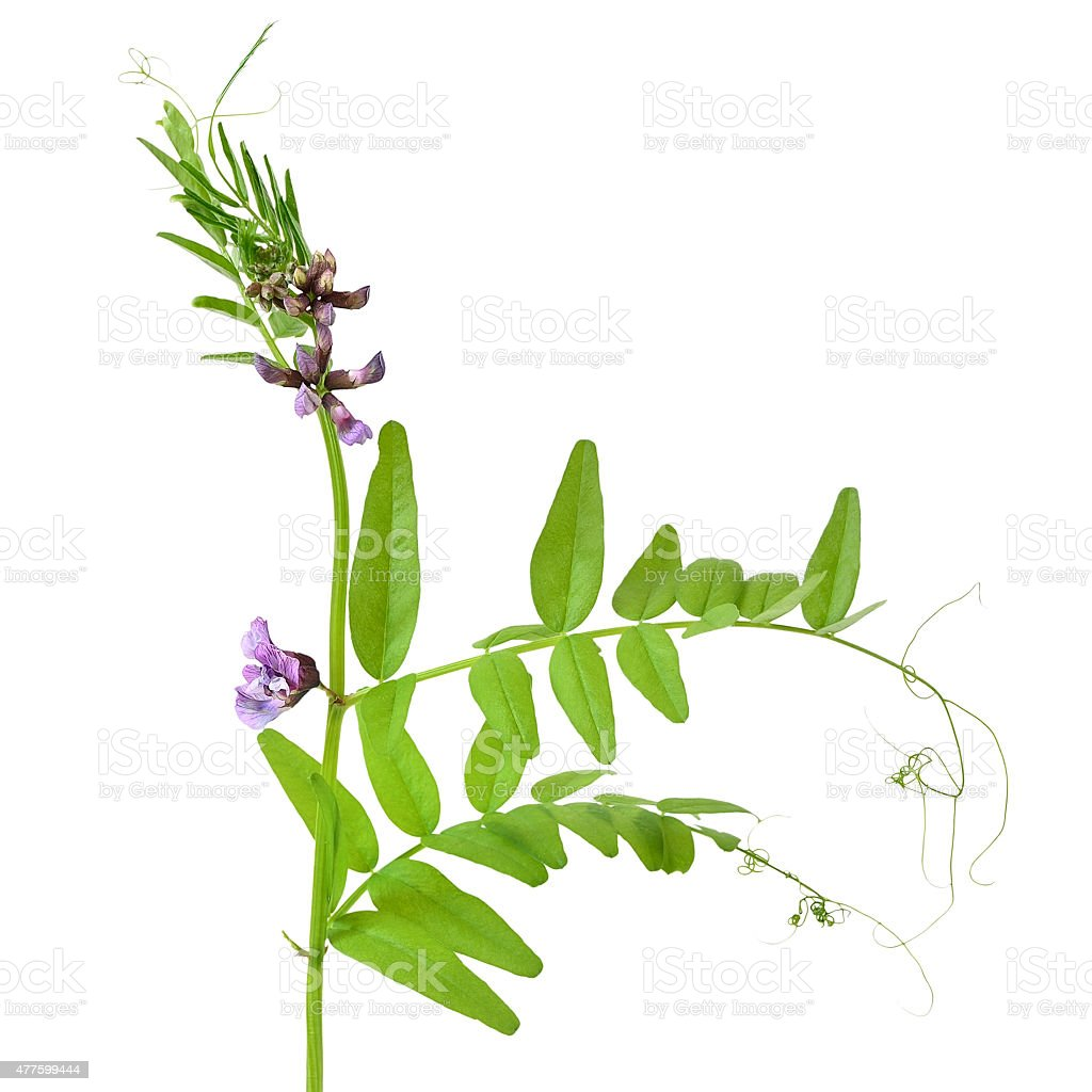 Vicia sepium flower stock photo
