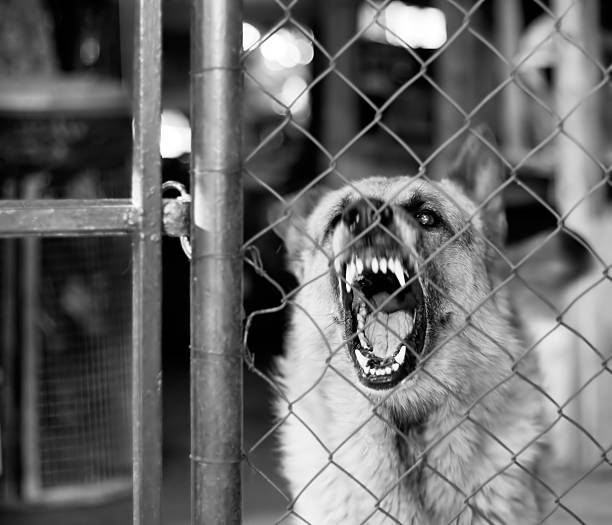 Vicious dog restrained by metal fence barks at someone Watchdog on duty,loudly barking, focus on the eye miserly stock pictures, royalty-free photos & images