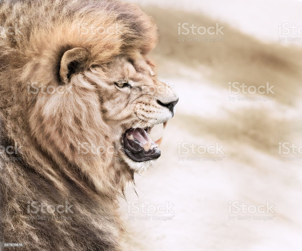 Vicious lion stock photo