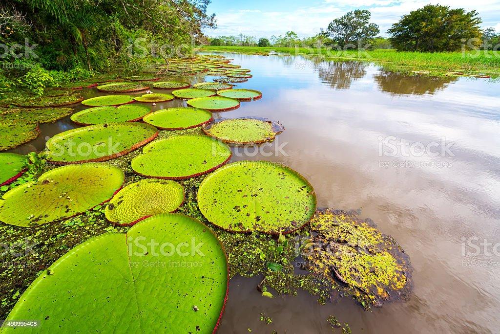 Victoria Amazonica and River View stock photo