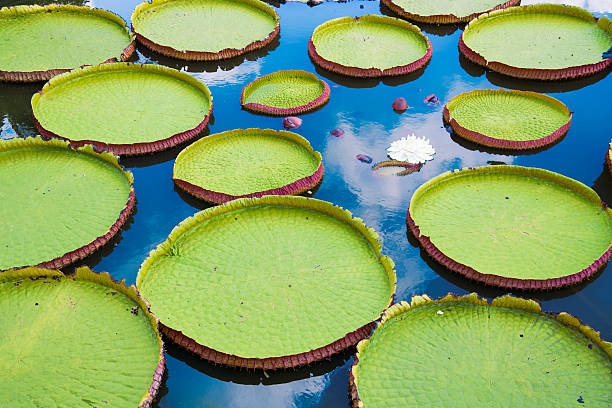 Victoria Amazonica and Vitoria Regia Photo of aquatic plants called Victoria Amazonica or Vitoria Regia. This plantas are big  leaves in form of  circle  that floating at the water. It is the symbol of Amazon. Giant Water Lily. victoria water lily stock pictures, royalty-free photos & images
