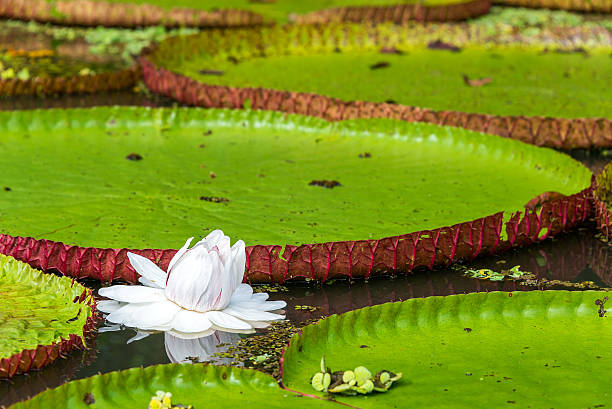 Victoria Amazonica Flower Flower of the Victoria Amazonica, or Victoria Regia, the largest aquatic plant in the world in the Amazon Rainforest in Peru victoria water lily stock pictures, royalty-free photos & images