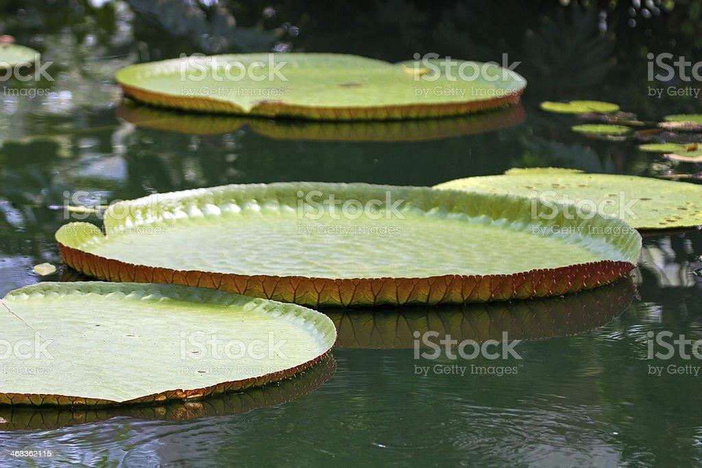 Victoria amazonica royalty-free stock photo