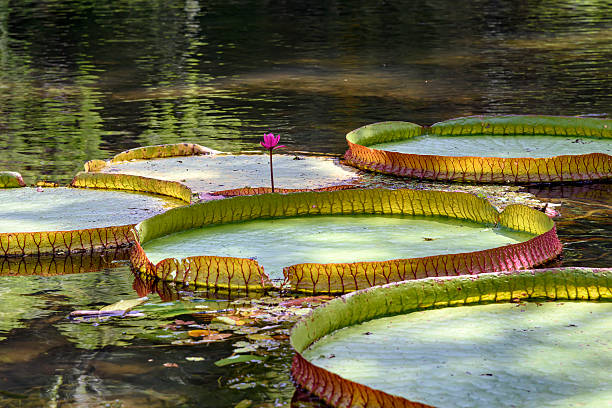 Victoria amazonica Victoria amazonica, exotic native plant of the Amazon River in Brazil victoria water lily stock pictures, royalty-free photos & images